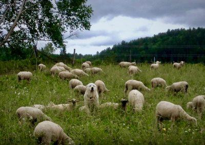 Chien-et-moutons-a-Labelle
